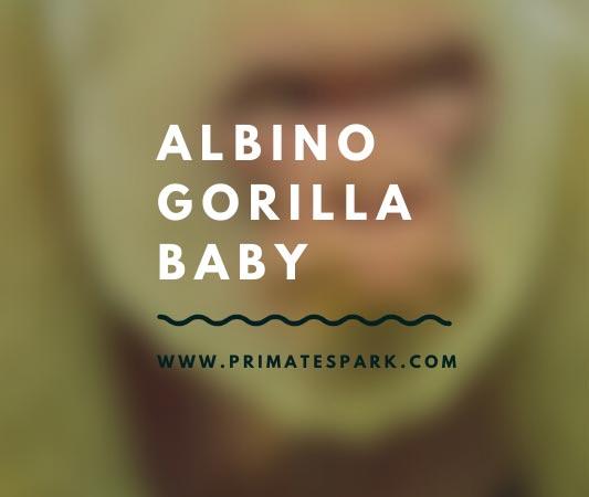 albino gorilla baby