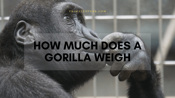 how much does a gorilla weigh