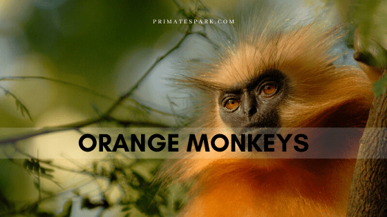 orange monkeys
