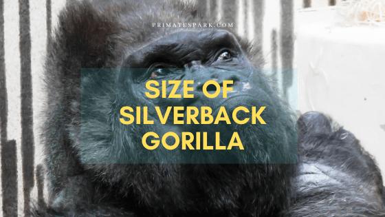 size of silverback gorilla