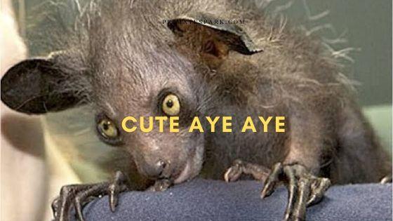 cute aye aye