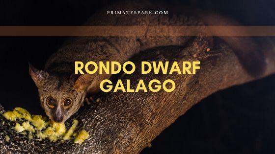 rondo dwarf galago