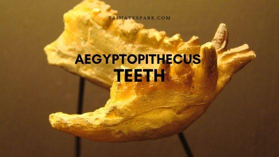 Aegyptopithecus Teeth