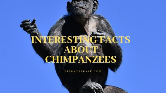 interesting facts about chimpanzees