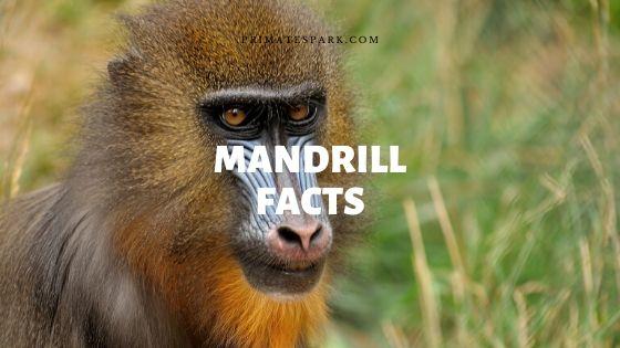 mandrill facts