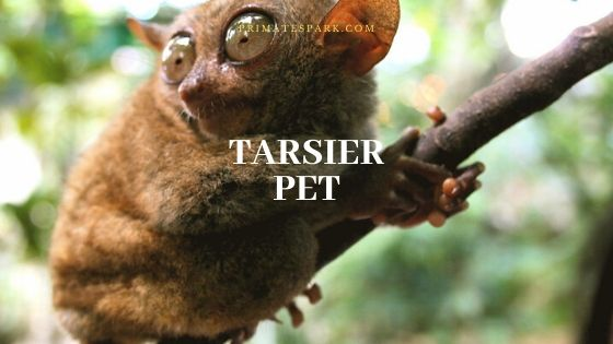 tarsier pet
