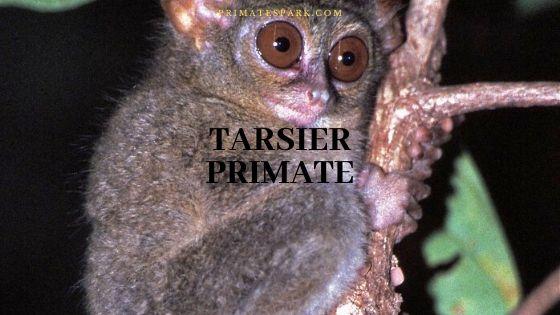 tarsier primate