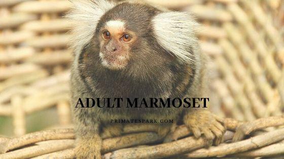 adult marmoset