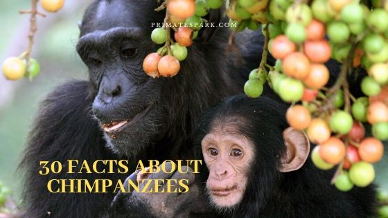 30 facts about chimpanzees