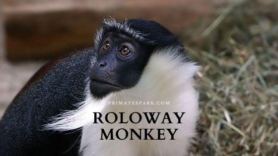 roloway monkey