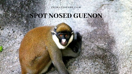 spot-nosed guenon