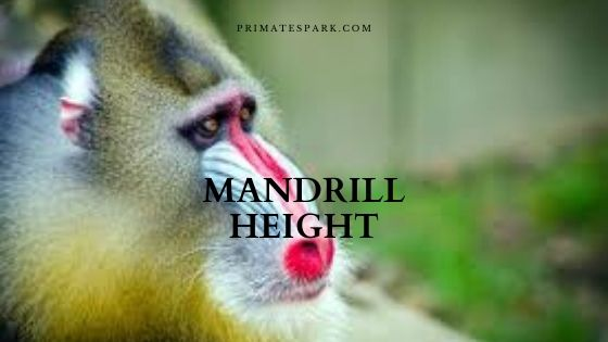 mandrill height