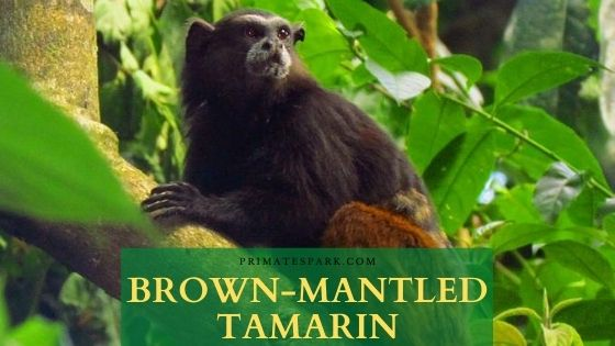 Brown-mantled tamarin
