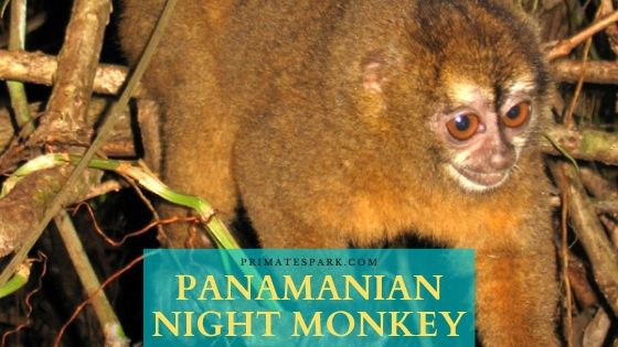 Panamanian Night Monkey
