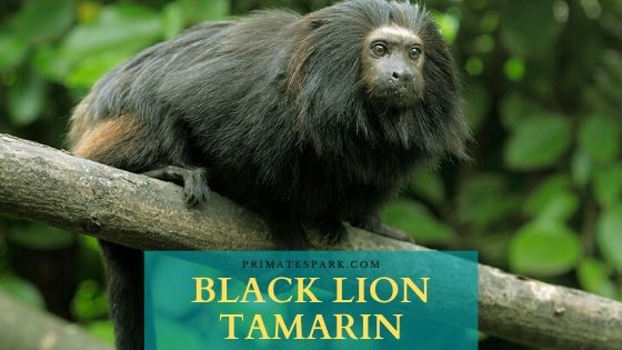 Black Lion Tamarin