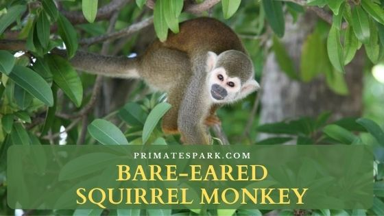 Bare-eared squirrel monkey
