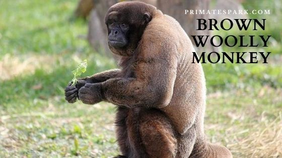 brown woolly monkey