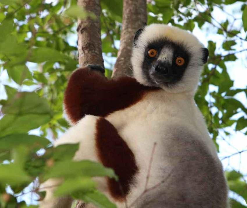 coquerel's sifaka lemur