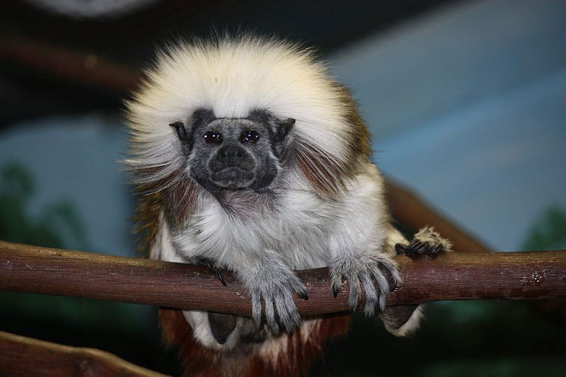 types of tamarins types of tamarin monkeys tamarin types