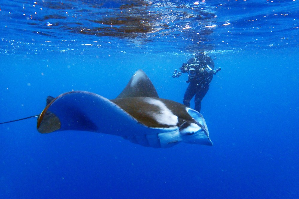 medium resolution of mantas also come around panari island just on the west of kuroshima this area is exposed to the open water of the philippine sea and generally choppy in