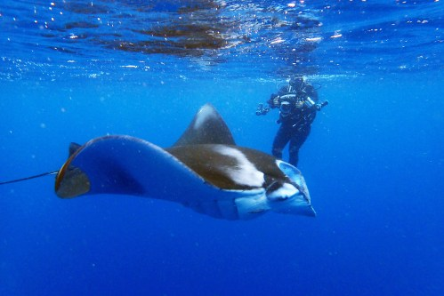 small resolution of mantas also come around panari island just on the west of kuroshima this area is exposed to the open water of the philippine sea and generally choppy in