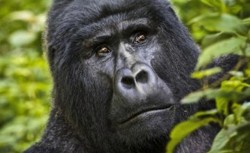 14 Days Uganda Rwanda Gorilla and Wildlife Scheduled Group Tour Safari