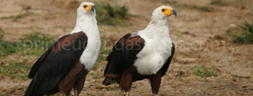 African-fish-eagle-uganda