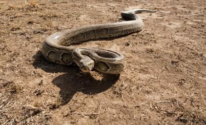 19 Feb 2006, Maasai Mara, Kenya --- Kenya, Masai Mara National Reserve, python de seba (Python sebae --- Image by © Michel Denis-Huot/Hemis/Corbis