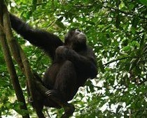 Chimpanzee-safaris-in Uganda
