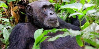 Chimpanzee trekking in Nyungwe National park