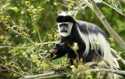 Colobus Monkey tracking in Nyungwe National Park