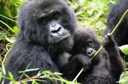 7 Days Gorilla Safari Holiday in Rwanda
