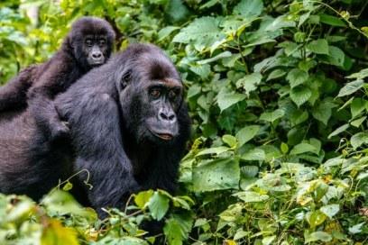 Gorilla Safari in Rwanda & Recreation at Gisenyi Lake Kivu