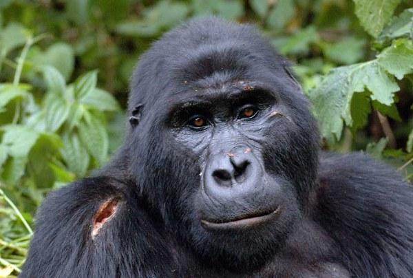 Gorilla Safari in Uganda 3 days