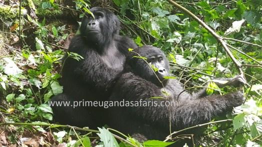 The amazing Uganda Mountain gorillas safari love