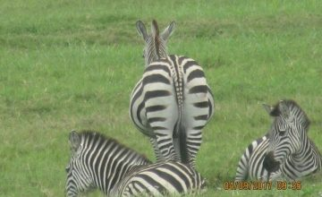 13 Days Flying Tanzania, Uganda Primate & Kenya Wildlife Safari tour