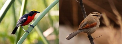 Kibal-birds uganda safari