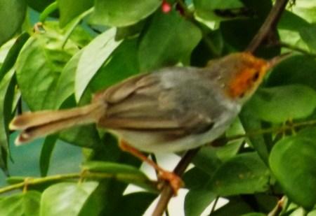 Red-faced Woodland Warbler , birding safaris in Uganda