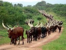 ankole long horned cattle-cultural safaris in uganda