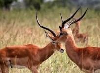 antelopes- rwanda wildlife safaris