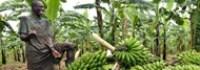 banan-growing-in-uganda