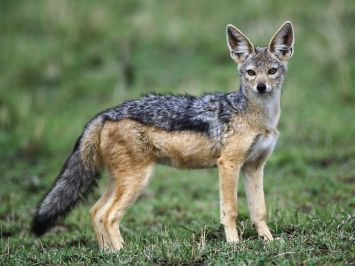 blck-backed-jackal-uganda-safaris-uganda-tours