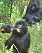 bwindi gorilla families