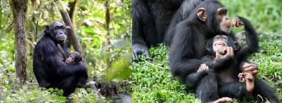 chimp-trekking-kibale