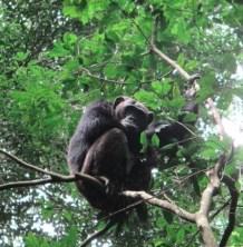 chimpanzee safari tours in uganda