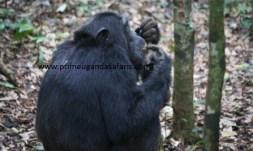 Chimpanzee safaris in Uganda
