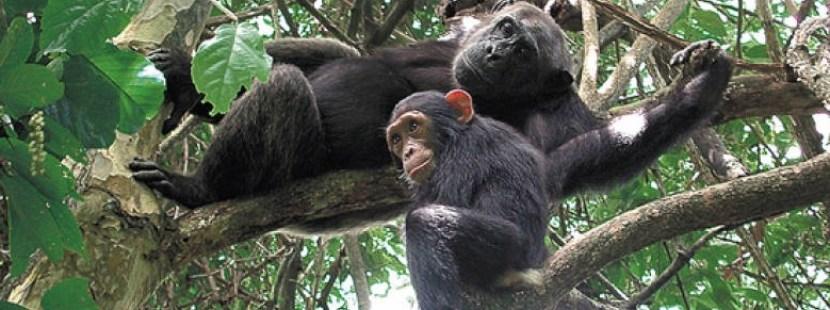 chimps-of-nyungwe