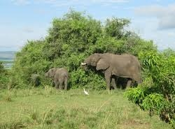 elephant-murchison falls uganda