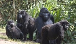 gorilla family in Bwindi forest np