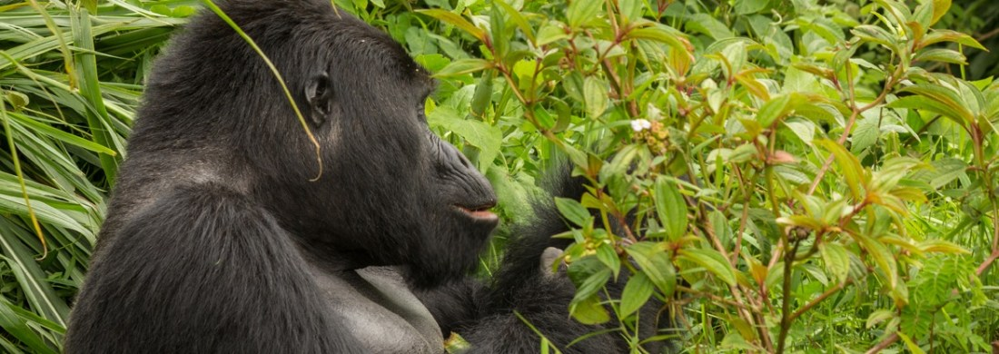 gorilla-in-bwindi